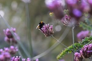 London bee in Hyde Park.